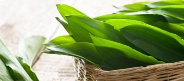 Leurda- planta mileniului III