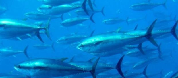 Cardume de atuns-rabilho - Foto: Tom Puchner