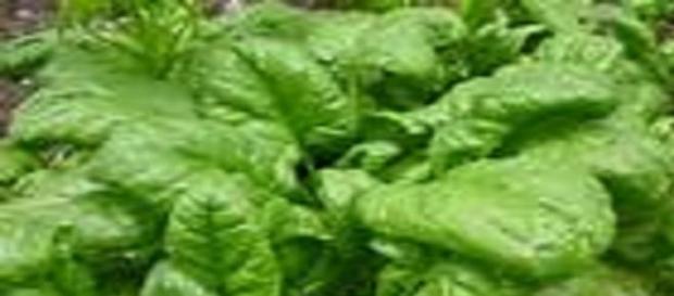Espinacas, alimento  que protege la inteligencia