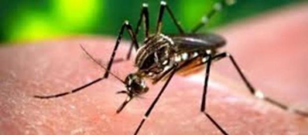 Mosquito da febre chikungunya não chegou ao Rio