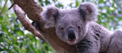 Koala é endémico da Austrália