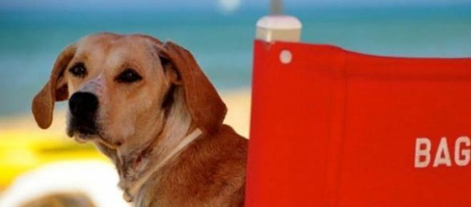 Nella foto un cane bagnino sulla classica sedia da mare
