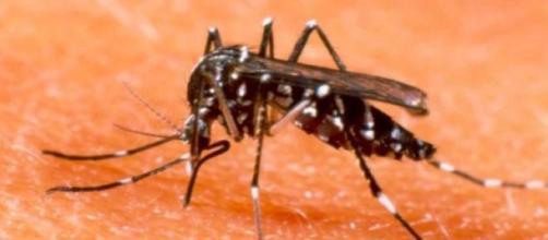 o mosquito aeds egypt picando pessoas