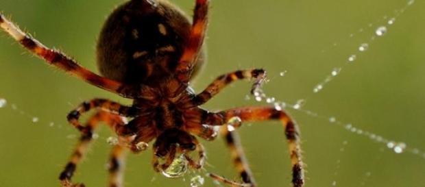 Ploaie de păianjeni peste Australia