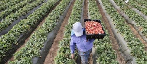Les ouvriers obtiennent 2% de la valeur récoltée.
