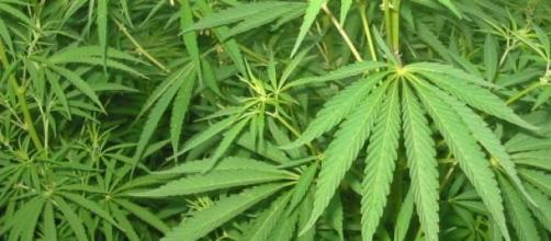 Imagen de la planta marihuana