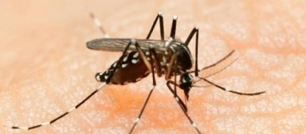 Aedes aegypti (Foto: Reprodução)
