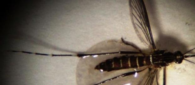 O aedes aegýpt, transmissor da dengue e da zika