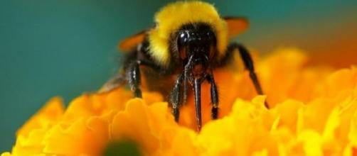 Oslo reacts to declining bumblebee numbers