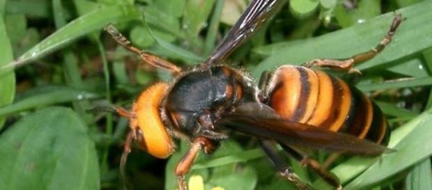 Viespea  gigant  asiatică sau viespea iadului