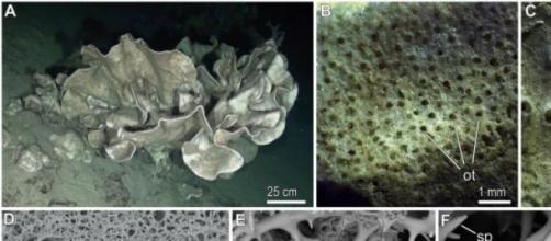 Leiodermatium pfeifferae