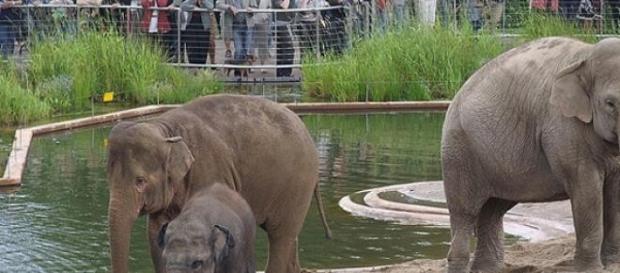 Elefantii, cu trupuri senzationale, la ZOO