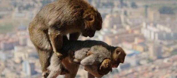 Imperecherea la macacii Barbary