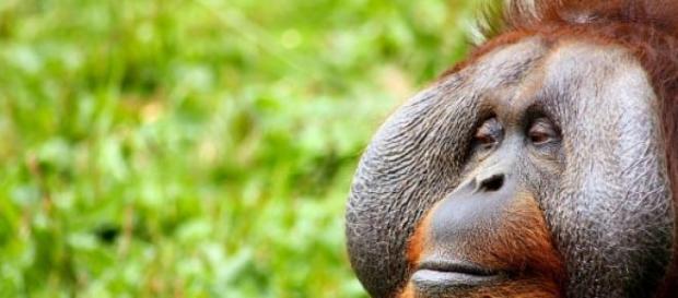 Los orangutanes padecen la deforestación