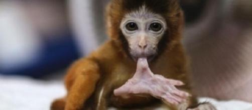 A macaca bebé tem apenas alguns dias.