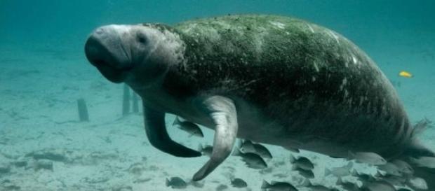 Estágio com peixes-bois amazônicos