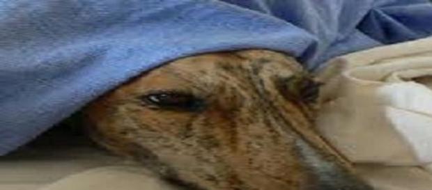 El deterioro del perro Galgo