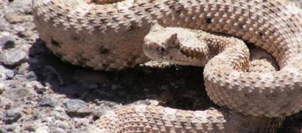 Şarpele cu clopoţei - veninos şi periculos