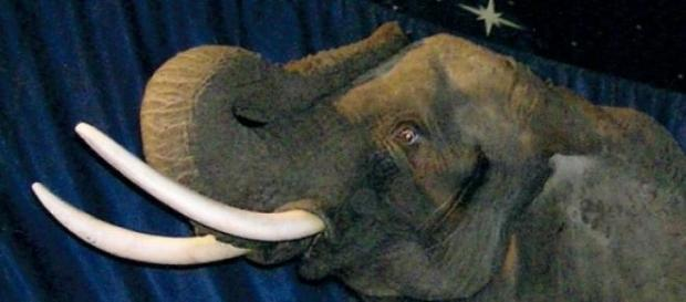 One of the last British circus elephants.