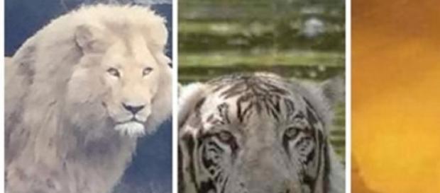 Animale periculoase de la zoo în Tbilisi pe strazi