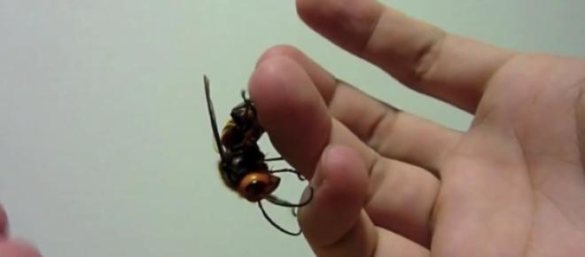Consigli per proteggersi dalla vespa killer