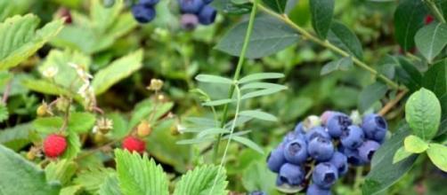 O mirtilo é um fruto silvestre