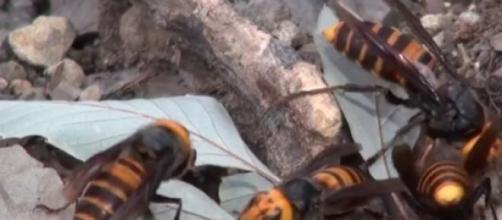 Il calabrone gigante asiatico (o vespa mandarinia)