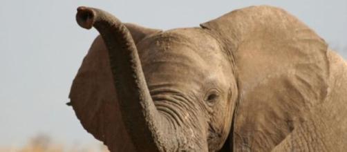 Les éléphants sont passés de 100 000 à 40 000.
