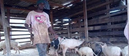 Un éleveur de porcs dans le Nord-Cameroun