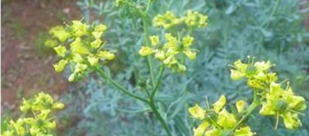 Planta Ruta graveolens tradeaza cancerul
