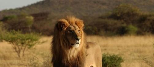 Leonessa stronca una vita durante il safari