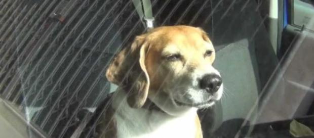 Cane abbandonato in auto, salvato da carabiniere