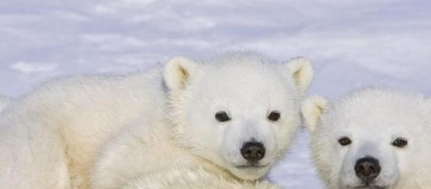 Filhotes de ursos ficam órfãos e quase são mortos