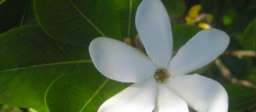Il profumatissimo fiore di tiaré.