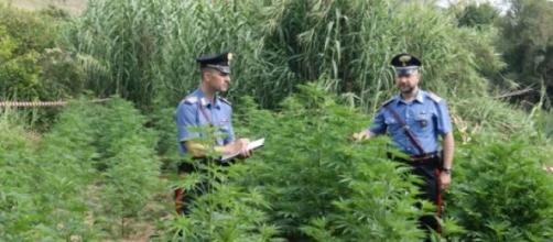 Piantagione di marijuana in un terreno del demanio