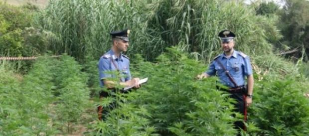 Piantagione di marijuana in un terreno del demanio