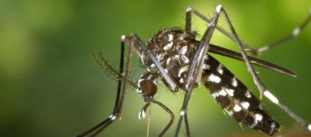 Die Asiatische Tigermücke ist in Europa unterwegs.