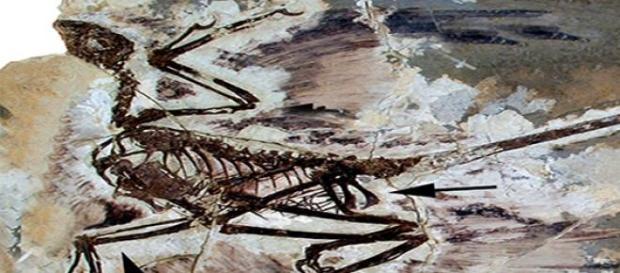 Fósil del Zhenyuanlong Suni