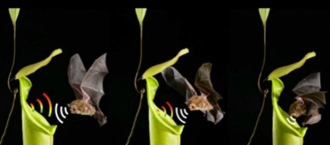 El curioso mutualismo entre murciélagos y plantas carnívoras