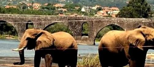Elefantes foram a banhos no rio Lima