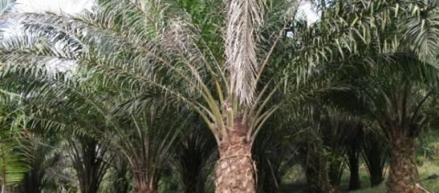 Palma africana dedicada a la producción de aceite
