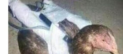 Gallina suicida de Estado Islamico