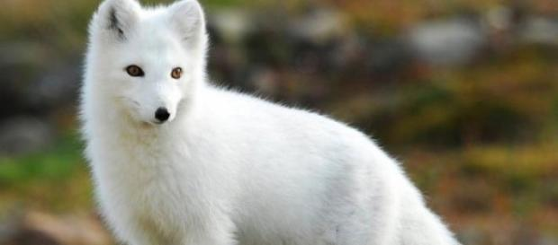 Raposa Branca - O fascínio de D. Manuel I