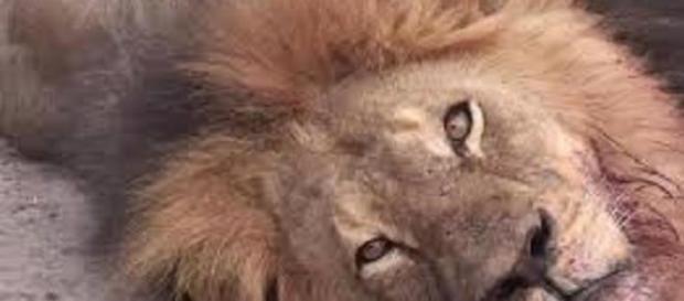 Torturan y matan a Cecil el león más famoso