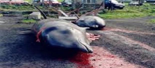 Cientos de ballenas y delfines mueren en el ritual