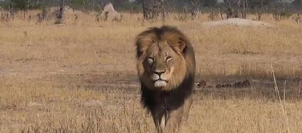 Ucciso Cecil, leone simbolo Zimbawe