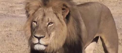 El león Cecil era un icono en Zimbabue