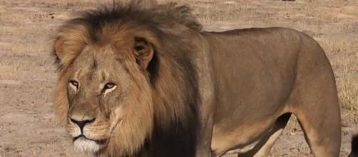 Cecil was killed by American and African hunters.
