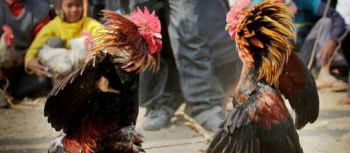 Peleas de gallos en Francia y México