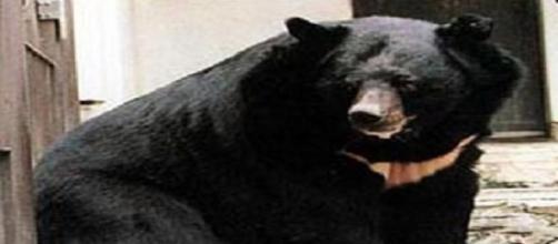 Urso Negro Asiático é uma espécie perigosa